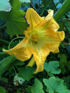 The courgettes are still flowering - in October!