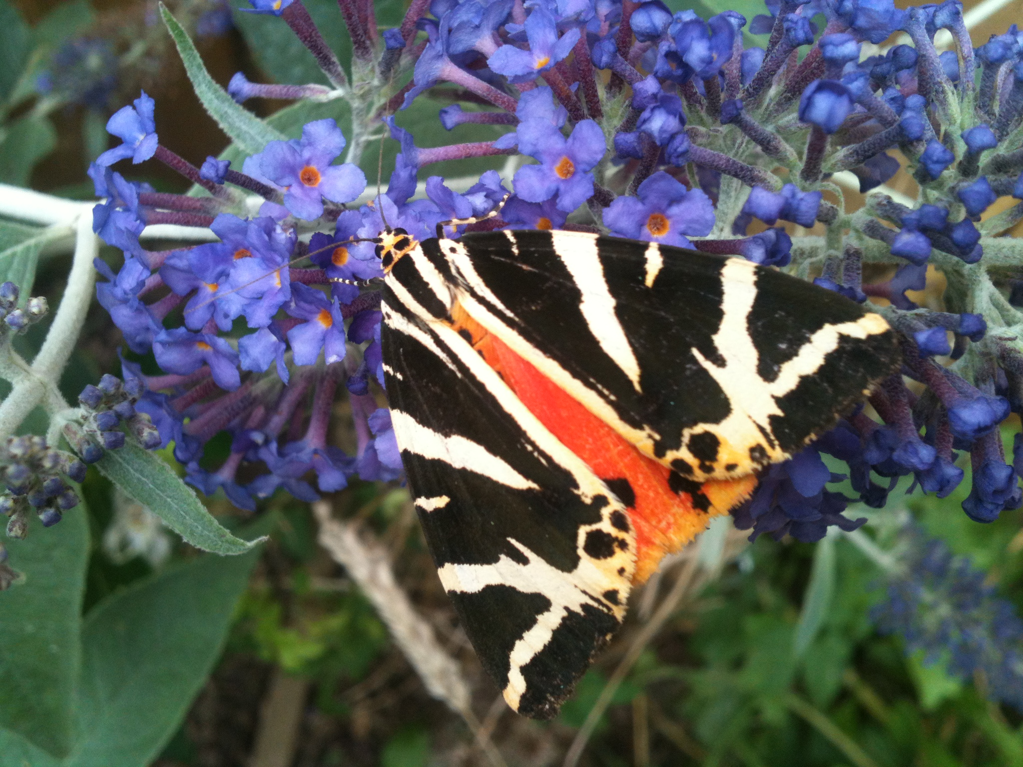 Meeting a tiger moth in the garden